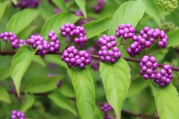 Purple beauty berry.